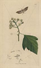 Harpipteryx scabrella  Wainscot Hooktip moth