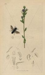 Heriades truncorum  Larger Heriades wasp