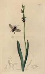 Epeolus variegatus  Cuckoo bee