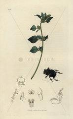 Copris lunaris  Lunar-headed Dung-beetle