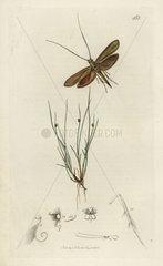 Adela frischella  Frischuefs Japan moth