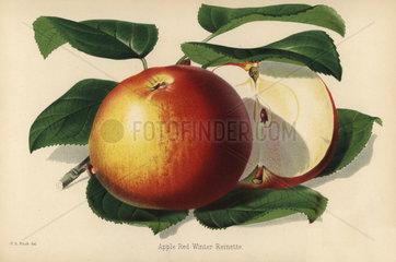 Red Winter Reinette apple variety  Malus domestica