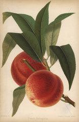 Peach cultivar  Bellegarde  Prunus persica