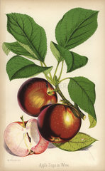 Apple variety  Sops in Wine  Malus domestica
