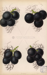 Grape varieties: Black Hamburg and Gros Colman  Vitis vinifera