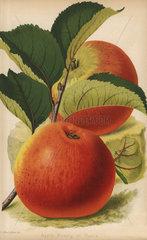 Beauty of Hants  apple variety  Malus domestica