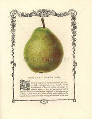 Perfumed Swan's Egg pear  Pyrus communis