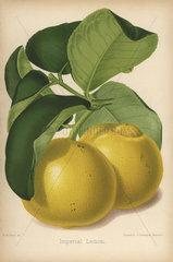 Imperial lemon cultivar  Citrus x limon
