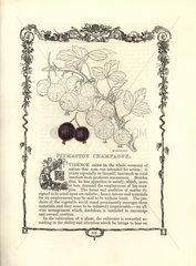 Pitmaston Champagne gooseberry  Ribes uva-crispa