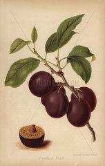 Wyedale Plum cultivar  Prunus domestica