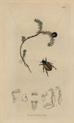 Anisoplia suturalis  Sutherland Bracken-clock beetle