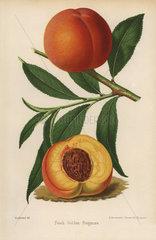 Peach cultivar  Golden Frogmore  Prunus persica
