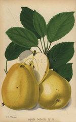 Apple cultivar  Golden Spire  Malus domestica