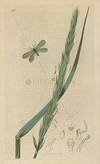 Chrysopa abbreviata  Short-winged Golden-eye moth