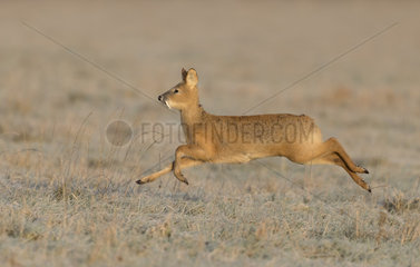 Chinese water deer (Hydropotes inermis) Male running in a frosty meadow at sunrise  England  Winter
