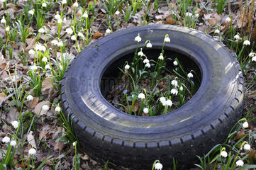 Spring Snowflake flowers and abandoned tire - France