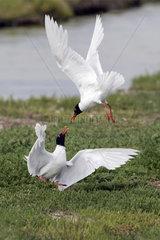 Mediterranean Gull (Larus melanocephalus) Territory quarrel in spring  Polder of Sebastopol  Noirmoutier  Atlantic coast  France