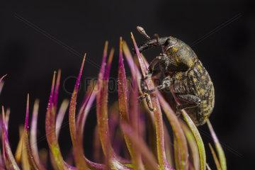 Thistle weevil (Larinus turbinatus) climbing to its host plant  France.