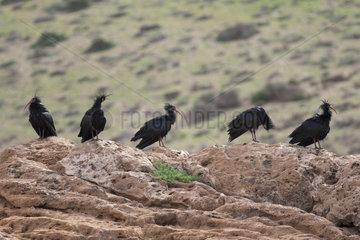 Bald Ibis (Geronticus eremita) on rock  Morocco