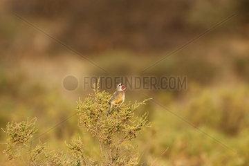 Rosy-patched Bushshrike (Rhodophoneus cruentus)  Samburu  Kenya