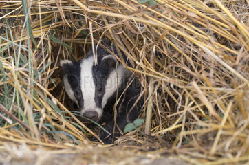 Badger (Meles meles) Badger looking for food  England  Spring