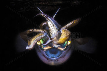 Portrait of Bigfin reef squid (Sepioteuthis lessoniana) at night  Indian Ocean  Mayotte