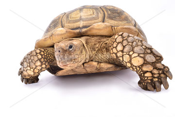 African spurred tortoise (Centrochelys sulcata) on white background