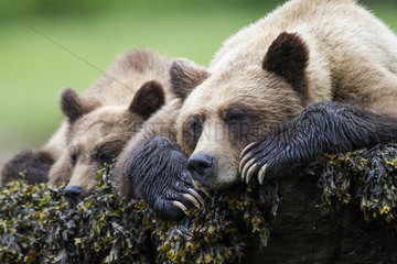 Grizzly (Ursus arctos horribilis) female and her cub at rest  Khutzeymateen Grizzly Bear Sanctuary  British Columbia  Canada