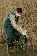 Technicien ONCFS récoltant le cadavre d'un canard Ain