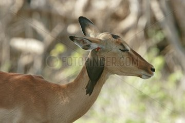 Red-billed Oxpeckers disinfecting an Impala South Africa
