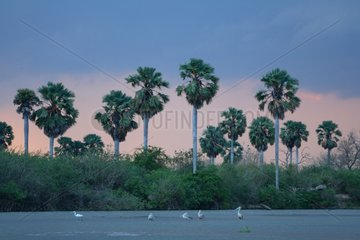 Pelicans and palm trees Rufuji river Tanzania