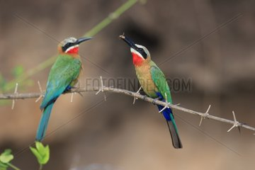 Offering of a male Male White-fronted Bee-eater to a female