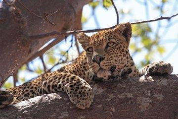 Leopard lying in a baobab Tanzania