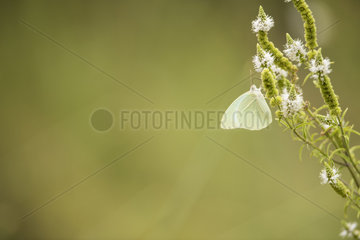 African migrant (Catopsilia florella)  Naukluft  Namibia