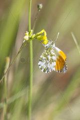 Orange Tip (Anthocharis cardamines)  Foraging a flower in the spring Massif des Maures around Hyeres  Var 83  France