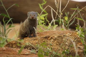 Banded mongoose (Mungos mungo)  Samburu  Kenya