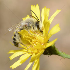 Hairy legged Mining Bee (Dasypoda hirtipes) male on Hawk Beard (Crepis sp)  Northern Vosges Regional Nature Park  France