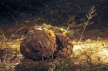 Pangolin discovered during a night safari Botswana