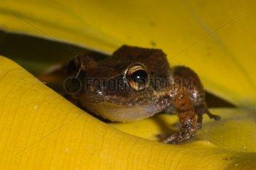 Lesser Antillean whistling frog on a leaf Guyana