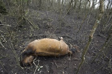 Dead horse after the eruption of Pacaya volcano in Guatemala
