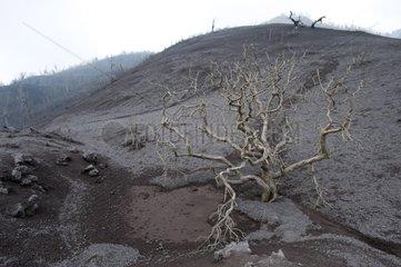 Devastated forest Eruption of Pacaya volcano Guatemala