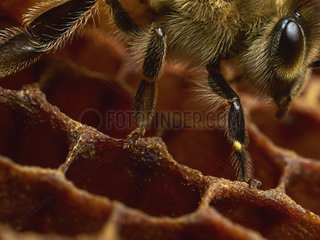 Honey bee (Apis mellifera) - Close-up of a bee with its legs in the wax. The vibrations produced during the explorer bees' dances are also a form of communication. On the frames  research has determined the particular zones where the dances take place. The combs are a veritable postal service  distributing the vibrations that serve as information from one bee to the other bees in the comb  even the whole colony if the combs are connected. The vibrations are felt by the claws of the last tarsal joint.