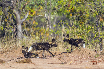 African Wild Dogs (Lycaon pictus) young  Kruger National Park  South Africa