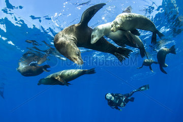Scuba diver observing a group of California sea lion  (Zalophus californianus)  Los Islotes  Sea of Cortez  Baja California  Mexico  East Pacific Ocean