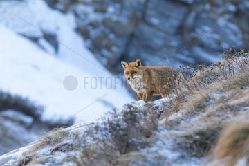 Red fox (Vulpes vulpes) in an alpine slope during a january morning  1800 meters altitude  Haute-Savoie  Alps  France