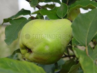 Quince on the tree Mayenne [AT]