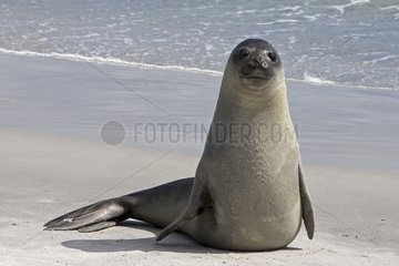 Portrait of a young Elephant seal in Falkland Islands