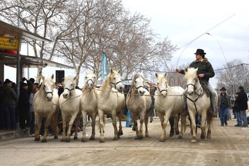 Guardian leader of Camargue horses before a show France