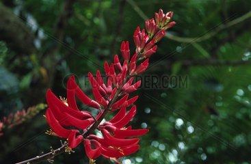 Inflorescence of a Cherokee Bean Tenerife Canary islands