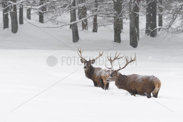 Red deers in Winter  Cervus elaphus  Bavaria  Germany  Europe